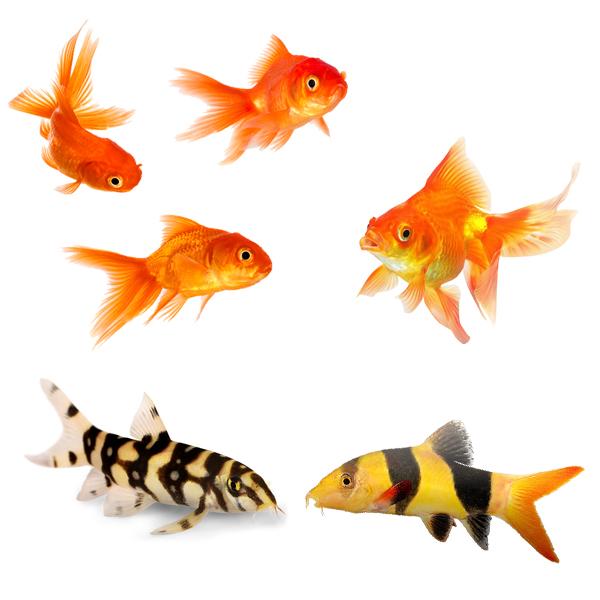 Золотые рыбки, карпы и вьюновые